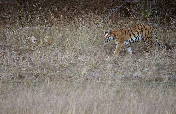Tigress in the morning