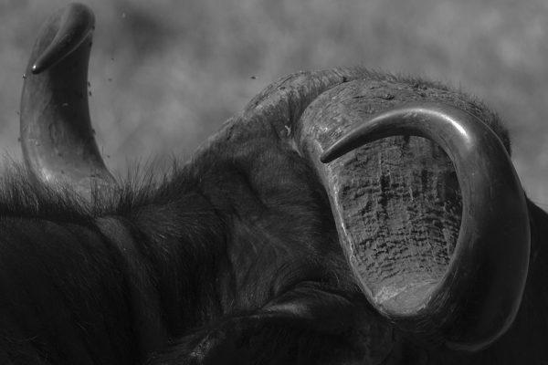 Tanzanie - Buffle