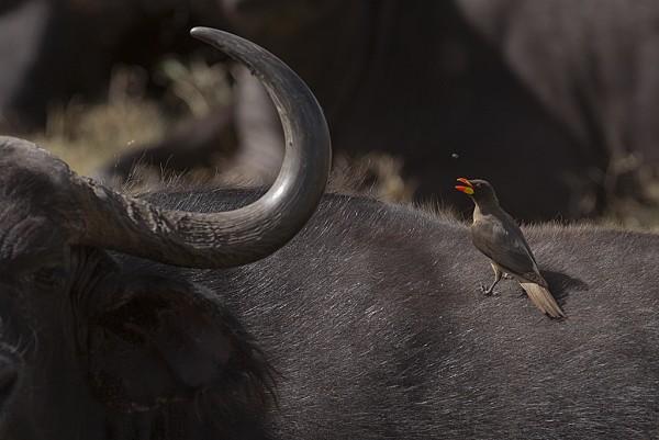 Tanzania - Buffalo