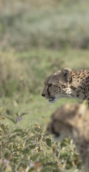 Guépards - Cheetahs