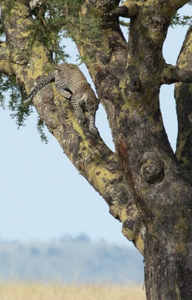 Bébé léopard - Tanzanie