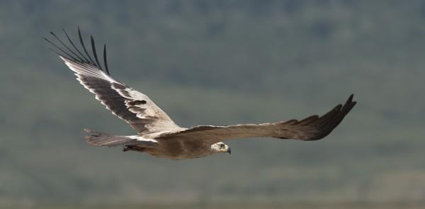 Tawny Eagle, in flight