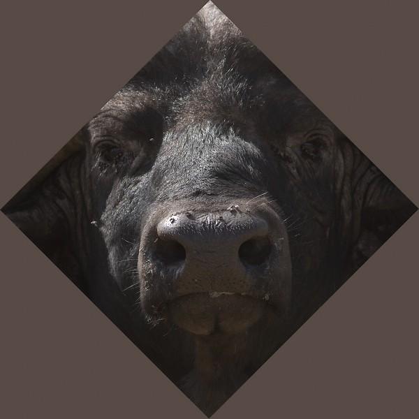 Buffalo, lozenge