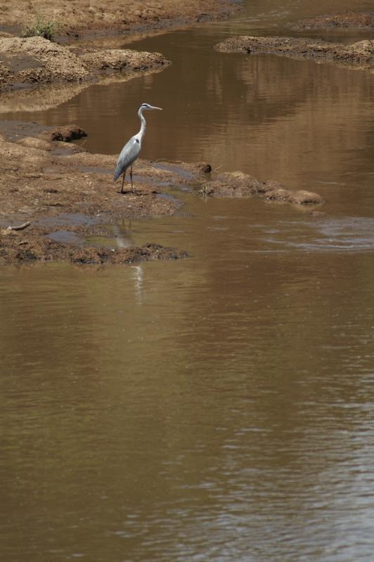 Masai Mara – Grey heron