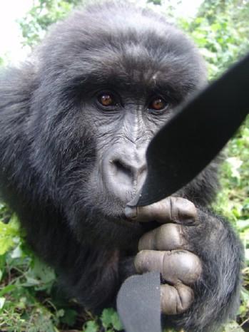 A very curious gorilla