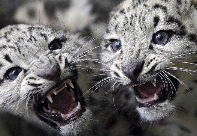 Baby snow leopards