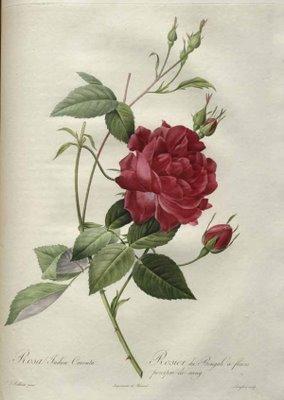 Les Roses – Redouté
