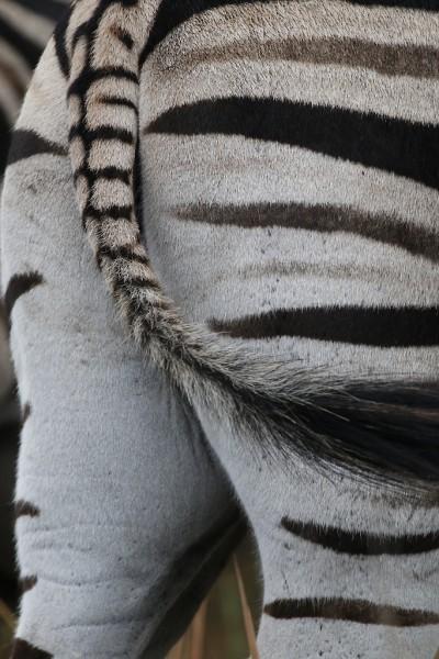 Zebras: Zooming in