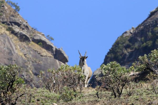 Élan du Cap / Common Eland
