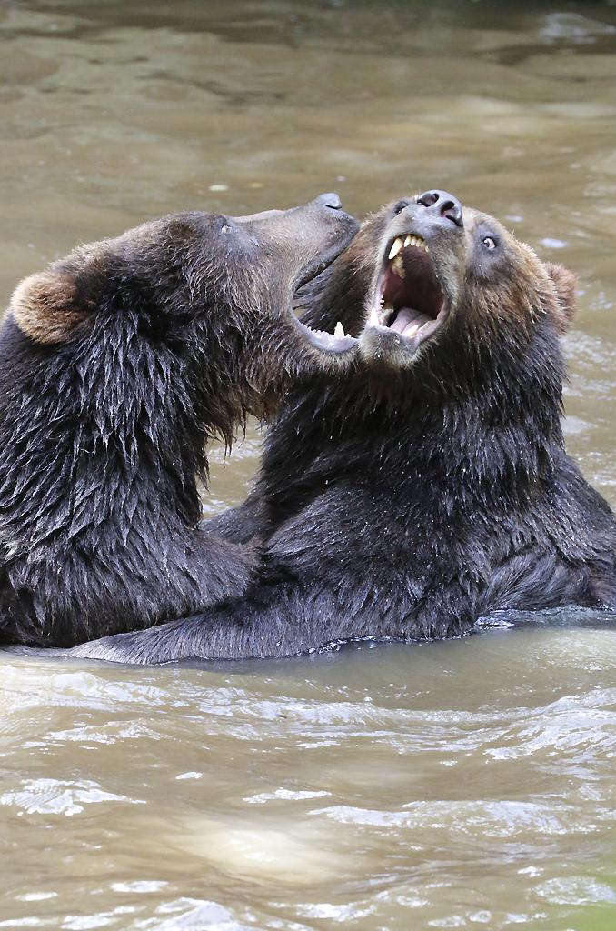 Grizzli fight
