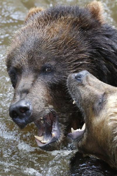 Combat de Grizzlis