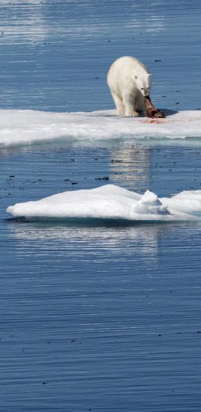 Polar bear [panorama]