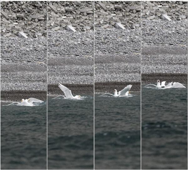 Goéland bourgmestre, glaucous gull