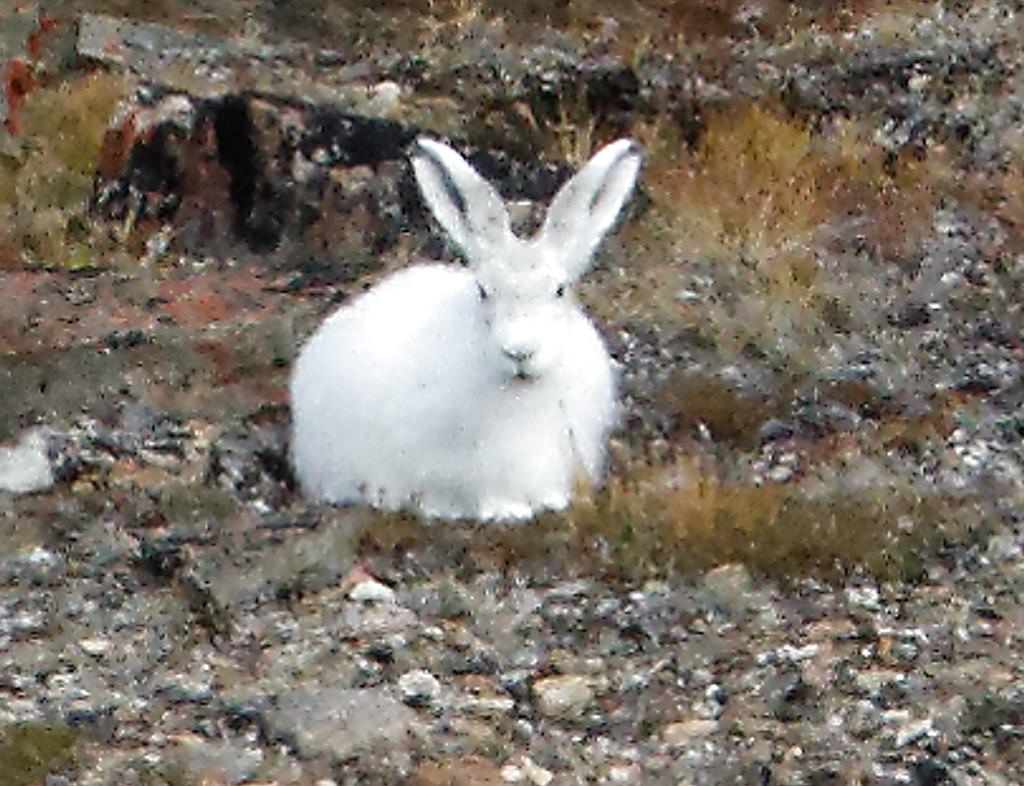 Arctic bunny too far for a photo
