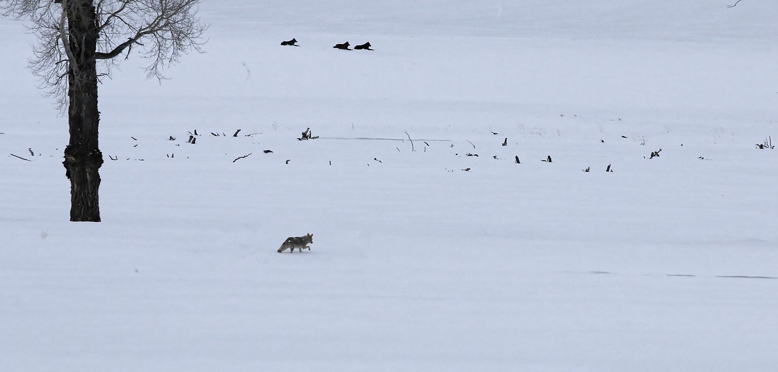 Grey wolves – Yellowstone