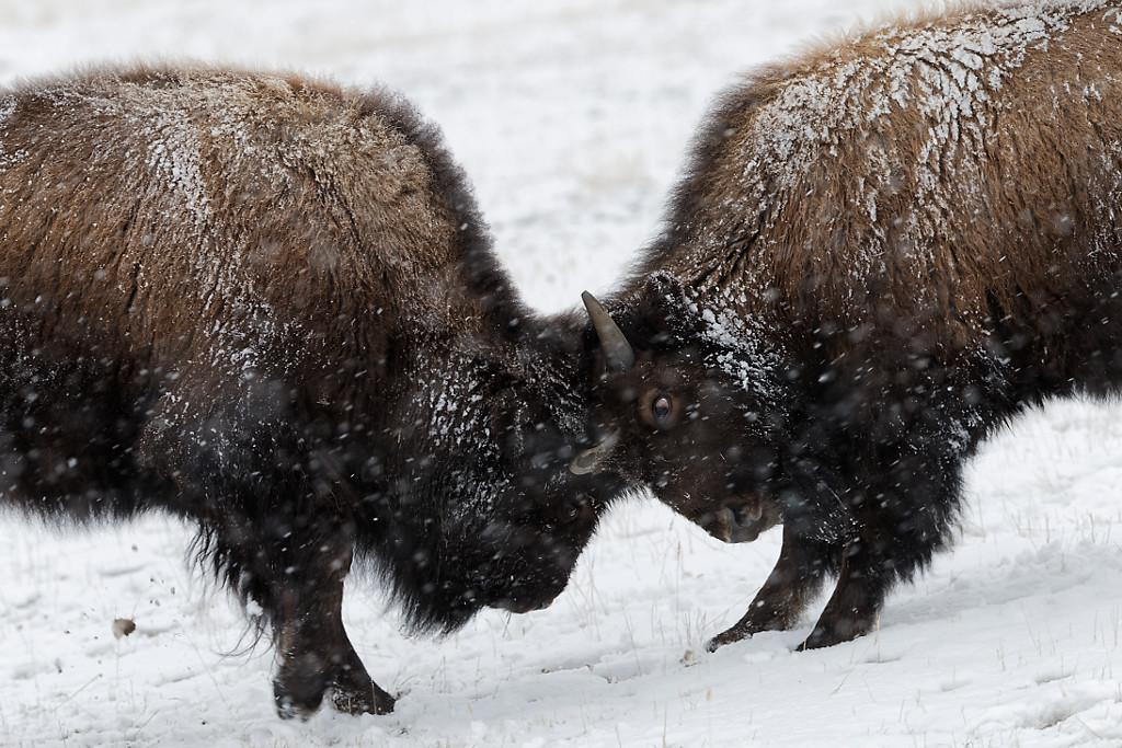 Buffalos in Winter – Yellowstone