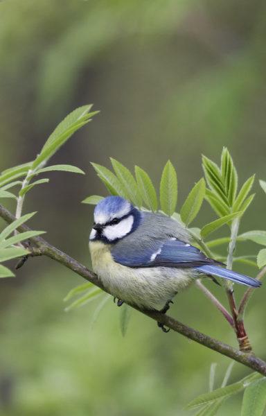 Eursaian blue tit