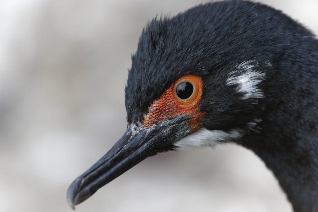 Rock cormorant, Rock shag