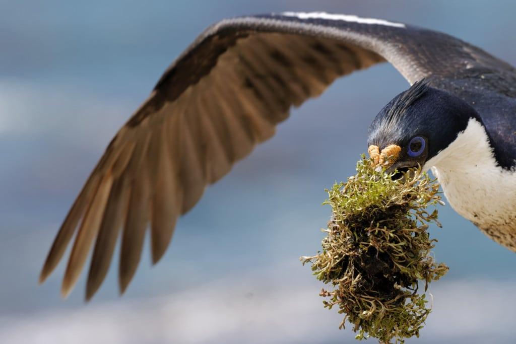 King cormorant, Imperial shag