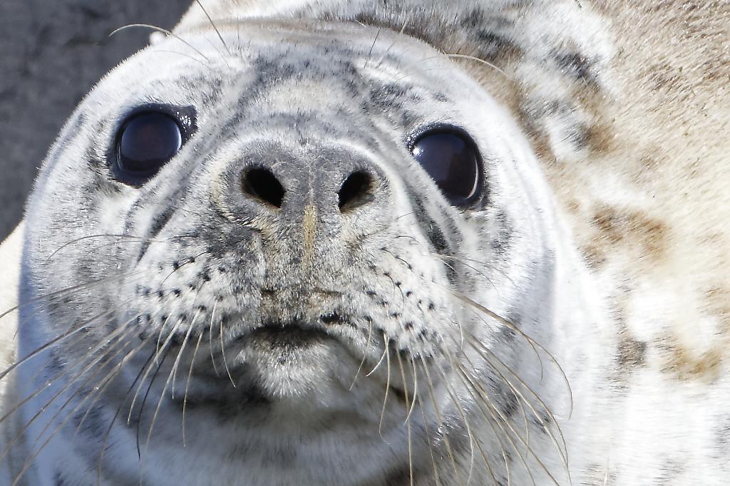 Grey seal(s)