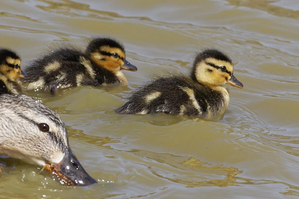 Mallard (female and chicks)