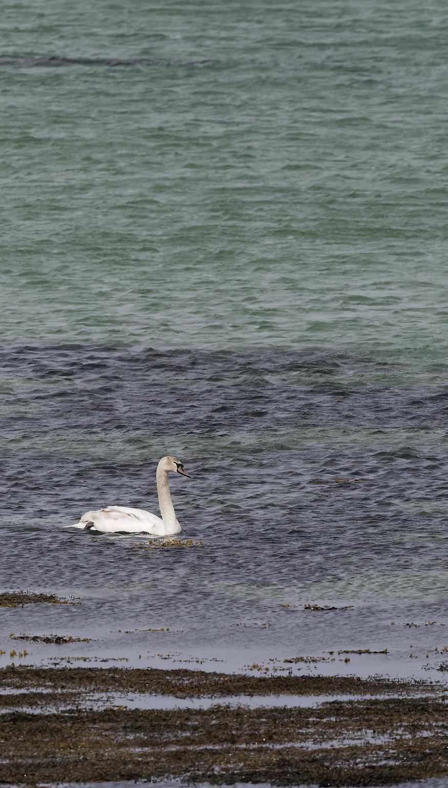 Mule swan