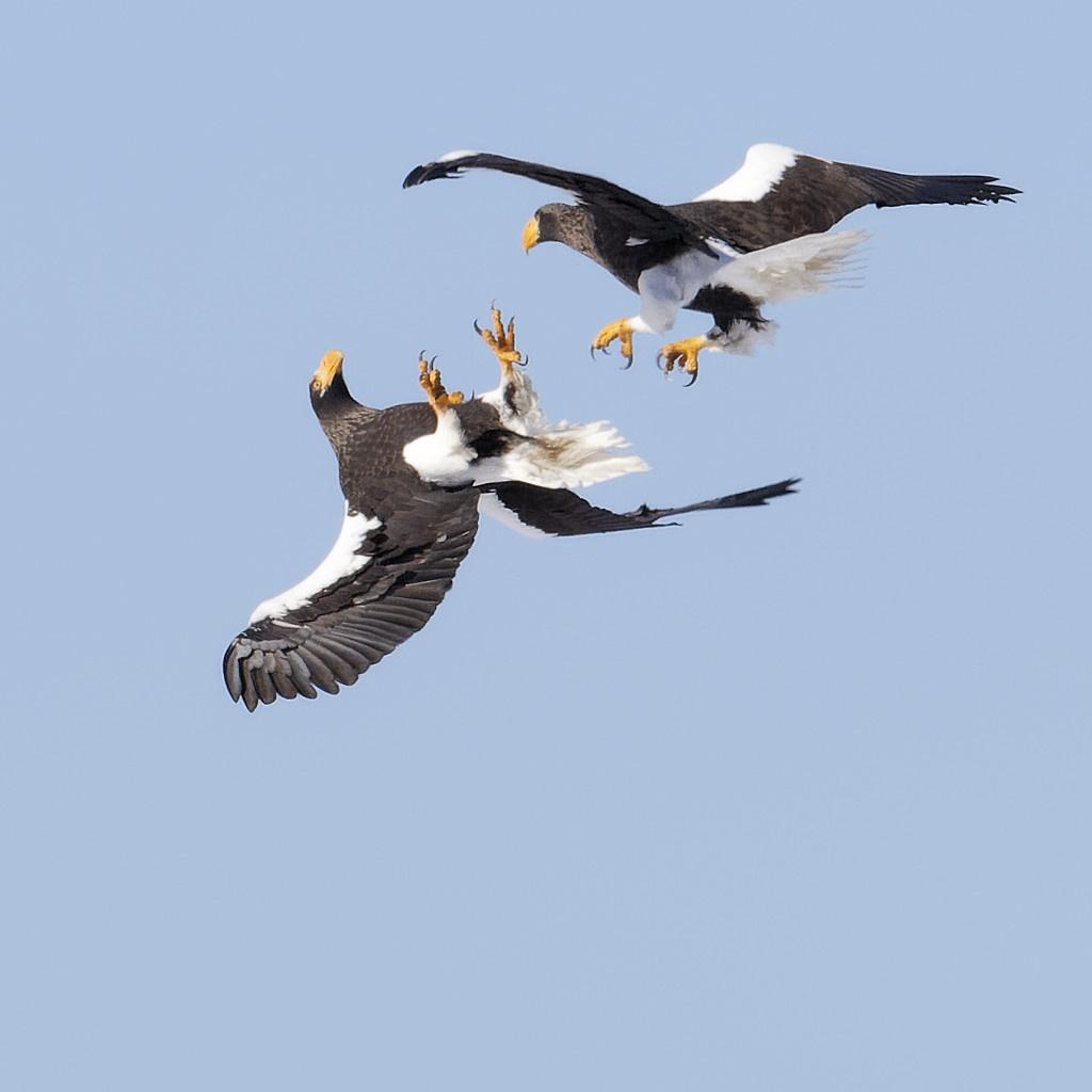 Steller's eagles