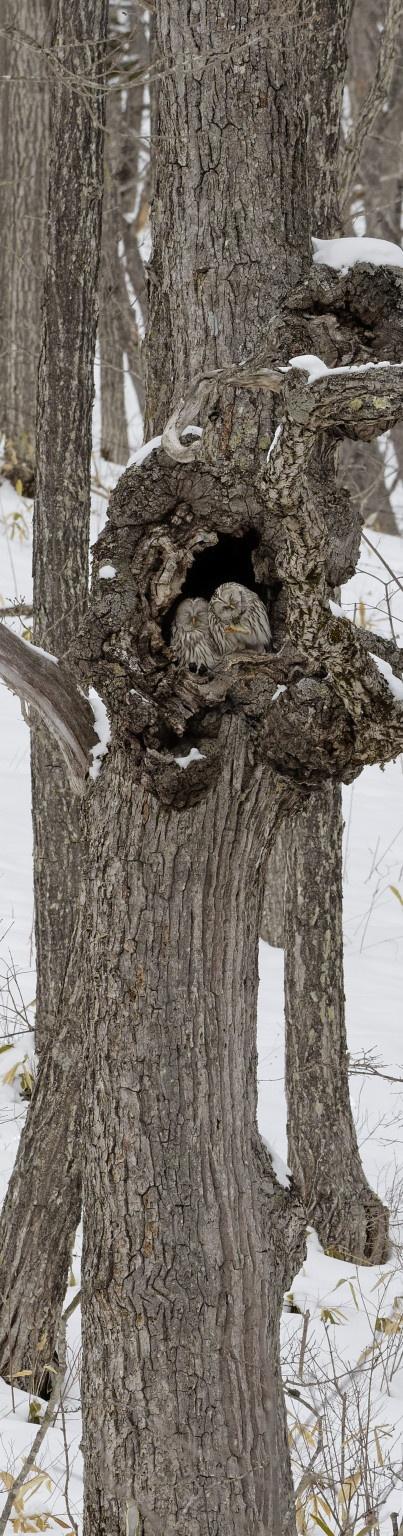 Ural owl, Ezo owl