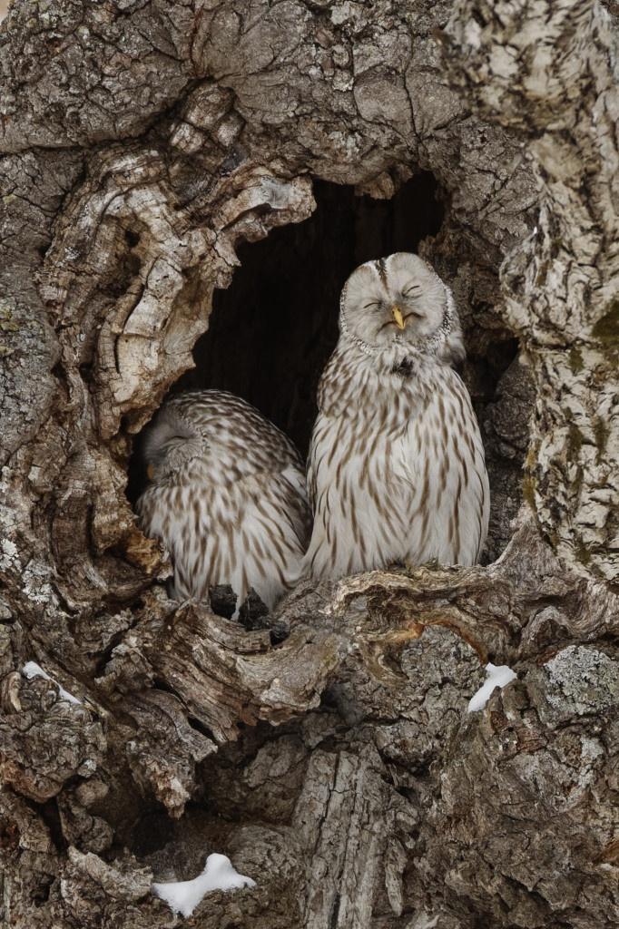 Ural owl (Ezo owl)