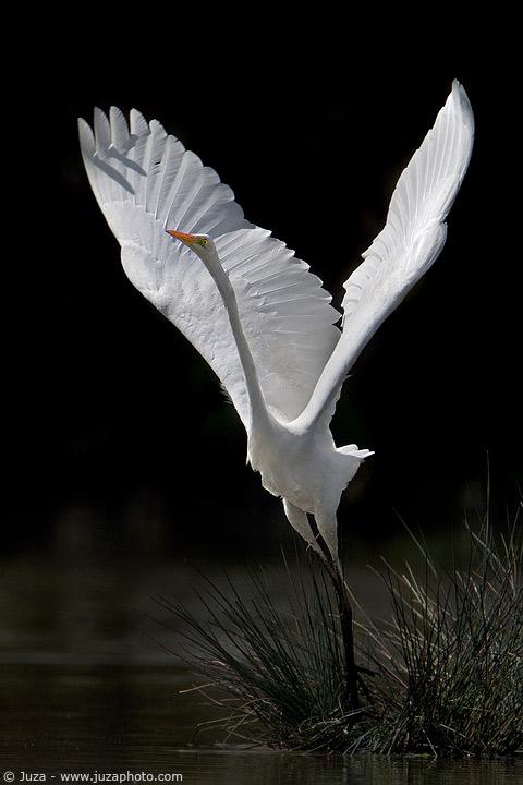 Juza - Bubulcus Ibis (Cattle Egret)