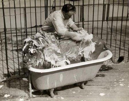 Le lion au bain