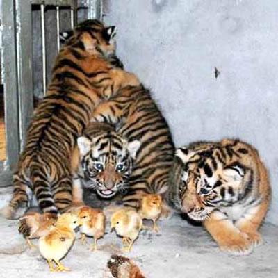 Tigres et poussins