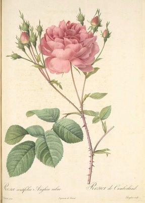 Pierre-Joseph Redouté (1759-1840) - Les roses
