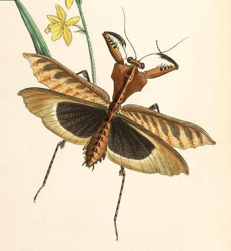 John Obadiah Westwood (1805-1893) - Arcana Entomologica