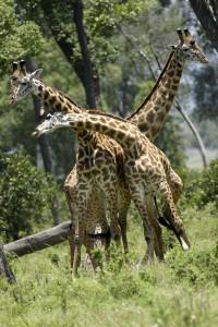Combat de girafes - Copyright 2008 Yves Roumazeilles