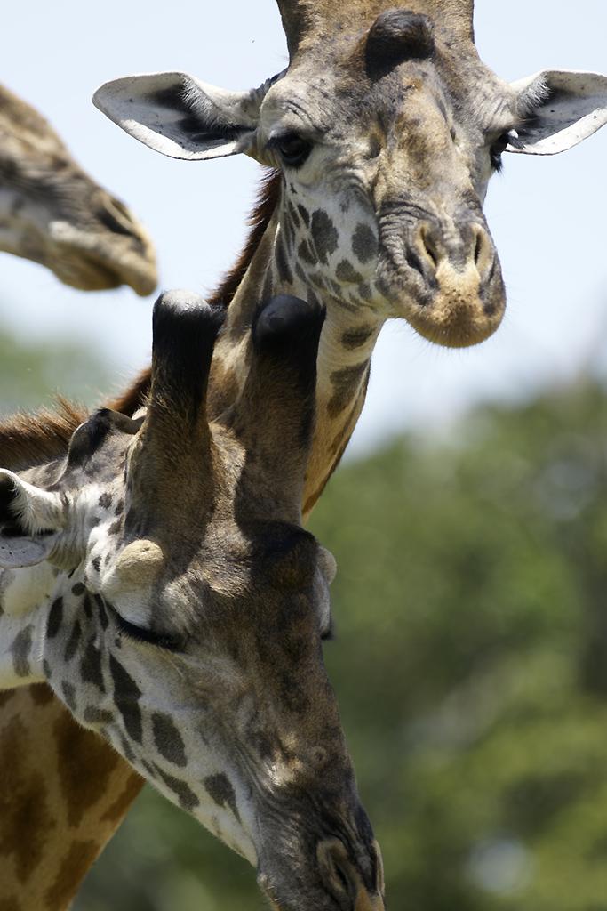 Girafes du Kenya