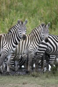 Burchell's zebras (Copyright 2008 - Yves Roumazeilles)