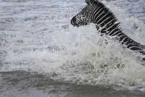 Burchell's zebras, crossing (Copyright 2008 - Yves Roumazeilles)