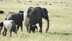 Bébé éléphant (Copyright 2008 Yves Roumazeilles)