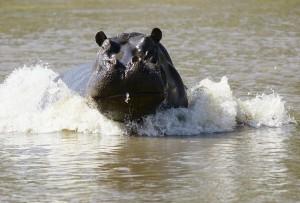 Hippopotame - Copyright (C) 2008 Yves Roumazeilles