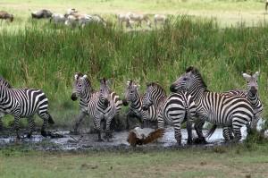 Burchell's zebras and Hammerkop (Copyright 2008 - Yves Roumazeilles)