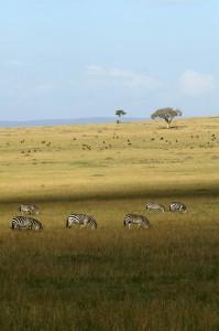 Zèbres sur la plaine de Musiara (Copyright 2008 Yves Roumazeilles)