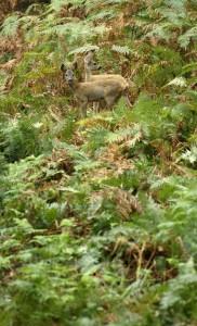 Roe deers (Click to enlarge)