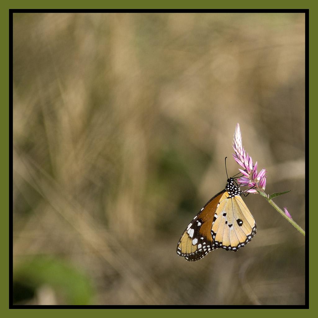 _DSC0124w - Papillon