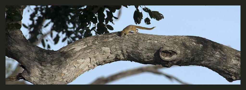 Squirrel, écureuil