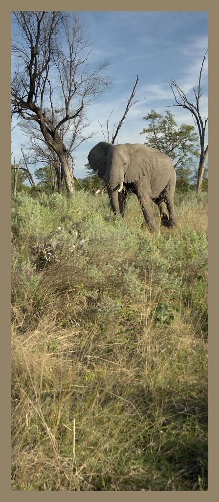 _DSC0160w - Elephant [panorama]