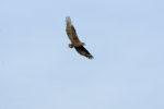 Bateleur Eagle - Copyright (C) Y.Roumazeilles