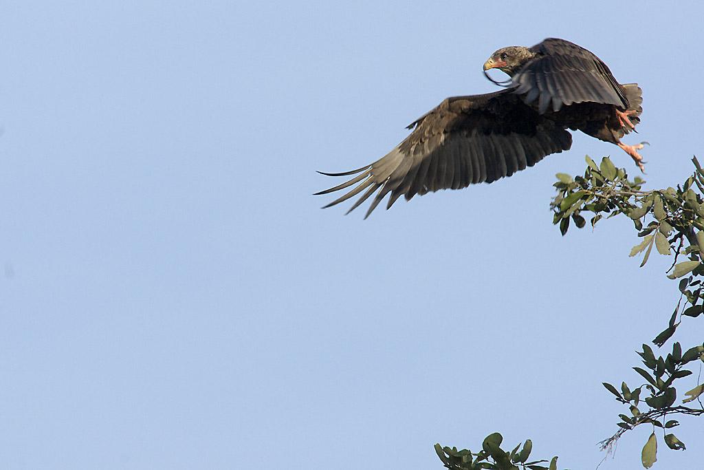 Bateleurs des savanes (aigles), en vol