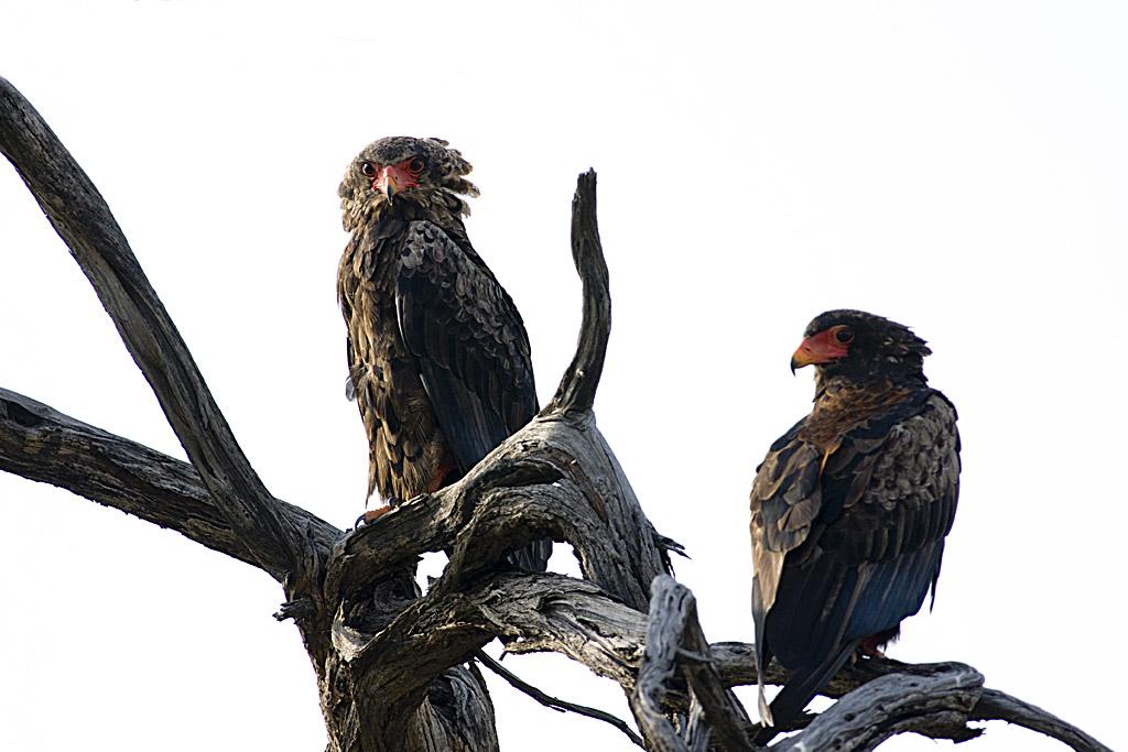 Bateleurs des savanes - Botswana - Copyright (C) Y.Roumazeilles