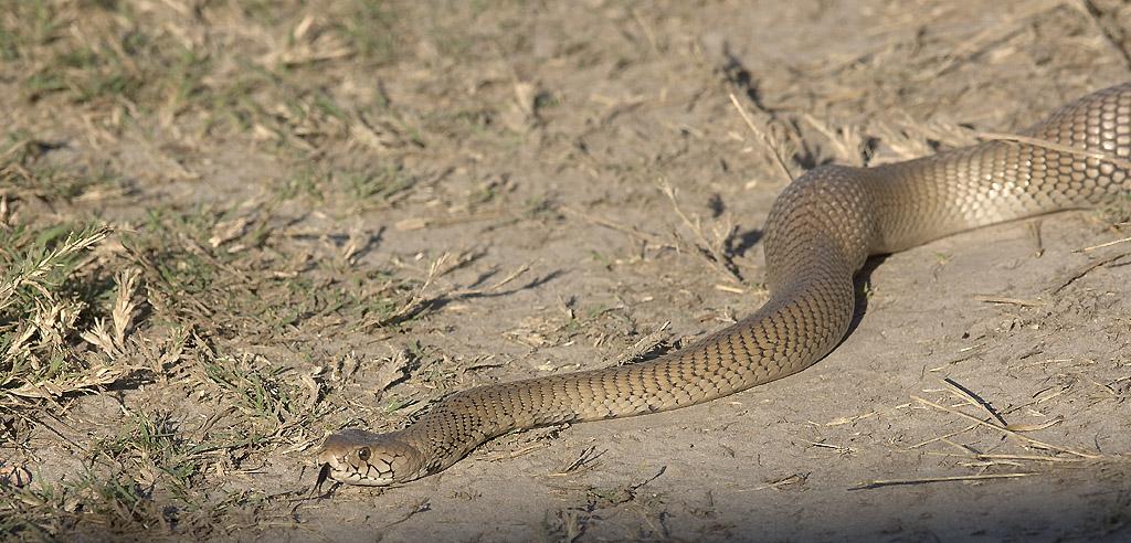 Cobra du Cap
